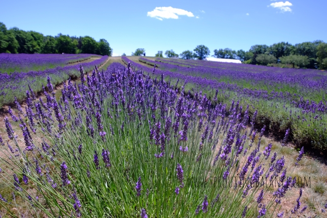 Every Summer has a Story: 2018 edition - Laveanne Lavender | www.sproutingbalance.com | #Port #Hope #trip #summer